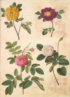 Hans Simon Holtzbecker, 1610-1620 - 1671. Former attributed to Maria Sibylla Merian. Rosa hemisphaerica.