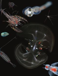 From the Journal of Plankton Research. https://www.facebook.com/JournalPlanktonResearch?ref=ts=ts