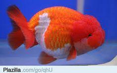 Afbeeldingsresultaat voor bijzondere aquariumvissen