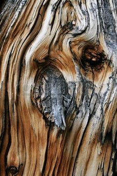 Pine Wood Dead Tree Trunk Knot From Old Branch Stock Photo, Picture And Royalty Free Image.