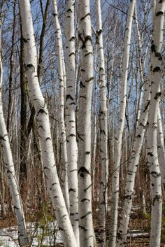 Information on Birch my mother tried many times to have a birch grow on our farm but it never happened-
