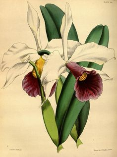 Botanical illustration of orchids by Biodiversity Heritage Library