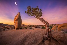 This is a capture of the rising moon over the famous tree in Joshua Tree National Park -- by Jeff Deveau