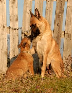#Belgian #Malinois Mum and Pup