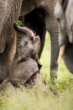 African elephant baby having a bite of a branch The Animals, Cute Baby Animals, Funny Animals, Wild Animals, Elephant Love, Elephant Art, African Elephant, Elephant Images, Elephant Gifts
