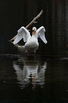 White swan reflection on dark water