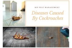 Cockroaches are the most common pests found anywhere in the property. They can spread a number of harmful diseases.