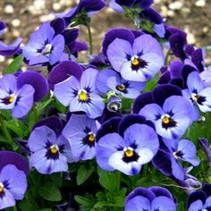 Penny Denim Jump-Up viola seeds - Garden Seeds - Annual Flower Seeds