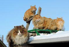 Суровые сибирские котики