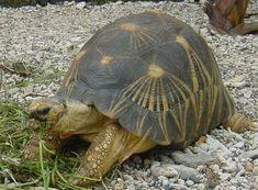 En la foto la tortuga radiada o también se le conoce como tortuga estrellada de Madagascar.