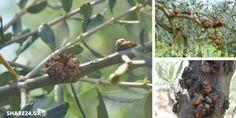 Μία από τις πιο διαδεδομένες και σοβαρές ασθένειες στους ελαιώνες είναι η καρκίνωση ή φυματίωση της ελιάς. Το κύριο γνώρισμα της είναι ο σχηματισμός όγκων και φυματίων πάνω στους κλάδους και τον κορμό του δέντρου Η ασθένεια οφείλεται σε ένα βακτήριο και η διάδοση της εξαρτάται κυρίως από τις καλλιεργητικές εργασίες του χειμώνα και της … Agriculture, Garden Landscaping, Boruto, Landscape, Fruit, Banana, Nature, Gardening, Jewelry
