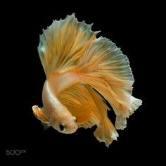 betta fish by Kidsada Manchinda Fish Fin, Red Fish Blue Fish, Beta Fish, Underwater Fish, Underwater Creatures, Ocean Creatures, Beautiful Fish, Animals Beautiful, Koi Betta