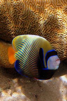 Emperor Angelfish (wild)