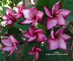 """Zephyr - Extremely compact, 3"""" vivid pink plumeria with purplish pink heart and lots of veins. Love the pointed tips."""