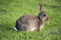 This rabbit species is the ancestor or all current domestic rabbits. Females are a little smaller in size than male rabbits. Mini Lop Rabbit, Lionhead Rabbit, Dwarf Rabbit, Small Rabbit, Wild Rabbit, Rabbit Breeds, Flemish Giant Rabbit, Animals Beautiful, Animaux
