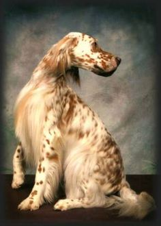 English Setter. Possibly the BEST family and companion dog EVER!