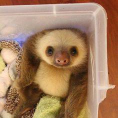 Just a Comfy Baby Sloth in a Box – Theresia Schubert - Baby Animals Cute Baby Sloths, Cute Sloth, Baby Otters, Cute Little Animals, Cute Funny Animals, Tier Fotos, Cute Animal Pictures, Funny Pictures, Cute Creatures