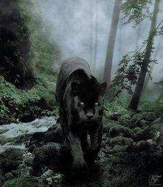 This is almost identical to the Black Panther I saw in Big Sur. Black Animals, Animals And Pets, Cute Animals, Wild Animals, Big Cats, Cool Cats, Cats And Kittens, Jaguar Tier, Beautiful Cats