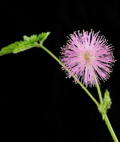 """100 Seeds, Sensitive Plant (Mimosa Pudica) :  One of the most unusual plants grown and a real curiosity for children. This tender perennial is often grown as a houseplant. When the attractive, finely cut leaflets are touched or otherwise disturbed, the leaves and branched will drop and fold up with astonishing speed and quickly expand again. Leaves fold up at night. Plants produce small """"silk tree"""" blossoms. Care: Avoid over watering. Sensitive Plant, Silk Tree, Unusual Plants, Flowering Trees, Houseplant, Garden Crafts, Permaculture, Lawn And Garden, Curb Appeal"""