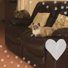 "Tonight's #cat sofa moment  Ambrose is like Darla's shadow - he always wants to be where she is Darla ""vants to be alone!"" #cat #cute #cats #catlady #catlife #catlove #catsofinstagram #catsrule #catskills #catsofig #catstagram #britishshorthair #happy #life #createdwithlove #acatlikecuriosity"