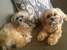 Full-Grown Shorkie | glad that Ivy and Madison enjoy taking naps with me. They're both ...
