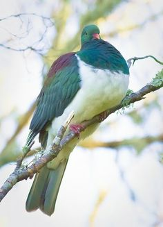 Kereru, New Zealand Wood Pigeon. I know it's a pigeon, but look at the pretty feathers - wants Pretty Birds, Beautiful Birds, Animals Beautiful, Exotic Birds, Colorful Birds, All Birds, Love Birds, Wood Pigeon, All Nature