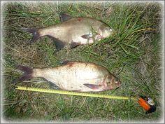 Wczorajsze dwie łopaty znajomych z zalewu - http://zalewzemborzycki.com/forum/viewtopic.php?f=4&p=1763#p1763