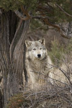 Timber Wolf by Carol Gregory