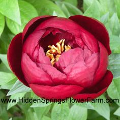 Peony 'Buckeye Belle'.  dark mahogany red, hard to capture; herbaceous hybrid