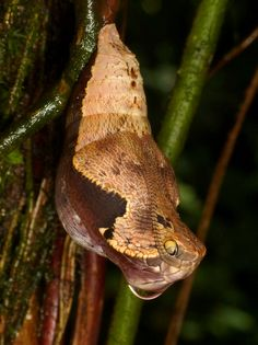 Believe It Or Not, This Isn't A Snake. So What Is It? snake-mimicking butterfly (Dynastor darius) from the forests of Trinidad| IFLScience