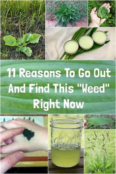 Home Remedies For Colds For Babies, Cold Home Remedies, Natural Health Remedies, Herbal Remedies, Plantain Benefits, Plantain Herb, Be Natural, Natural Healing, Natural Foods