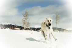 I love to run! #irishwolfhound #toywolfie