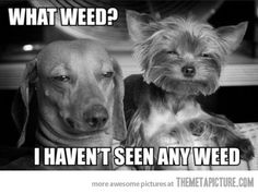 What weed? Haha, not my kind of thing but it looks like these dogs are into that.