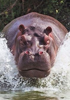 https://i.pinimg.com/736x/67/ea/4f/67ea4fbdddcf2783d4ce45006a0e2059--in-south-africa-hippopotamus.jpg