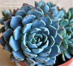 Echeveria 'Azulita'. It's really that blue!