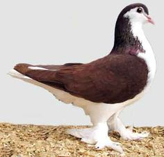 Lahore Pigeon is a calm and gentle behavior Domestic Pigeon. Read all characteristics of Lahore Pigeon in detail here at Small Animals for Pets. Pigeon Pictures, Animal Pictures, Lahore Pigeon, Cute Pigeon, Pigeon Breeds, Homing Pigeons, World Birds, Showing Livestock, Needle Felted Animals