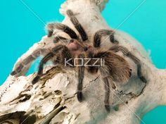 tarantula on a animal bone. - Detail shot of a tarantula on a animal bone.