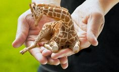 """Sokoblovsky Farms website waitlist for the year 2518 breeds two-foot-tall """"Petite Lap Giraffes."""""""
