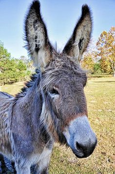 Bet He Gets Good Reception ♥ ~ ♥ Donkey ♥ ~ ♥ Cute Donkey, Mini Donkey, Beautiful Horses, Animals Beautiful, Animals And Pets, Cute Animals, Burritos, Barnyard Animals, Interesting Animals