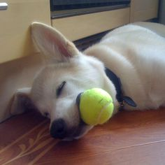 My lovely Akita called Obon. You are never getting the ball back.