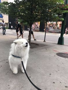 36 Samoyed Saturday Samoyed Photos Who doesnt love cute dogs and Samoyed are some of the cutest. Cute Baby Animals, Animals And Pets, Funny Animals, Cute Puppies, Cute Dogs, Dogs And Puppies, Doggies, Yorkie Puppies, Pomeranian Puppy
