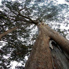 Featured Art - Big Eucalyptus Tree by Sarah King Sarah King, Eucalyptus Tree, King Art, Framed Prints, Canvas Prints, Art For Sale, Gallery, Artist, Artwork