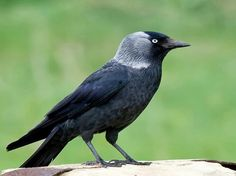 Kauw Most Beautiful Birds, Animals Beautiful, Choucas Des Tours, Jackdaw, Crows Ravens, Rabe, All Nature, Colorful Birds, Fauna