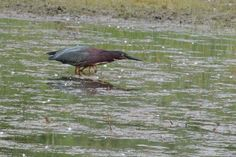 Green Heron ©Steve Frye. Wild Bird Company - Boulder, CO, Saturday Morning Bird Walk in Boulder County – July 2, 2016.