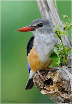 The Grey-headed Kingfisher Photo by Marietjie Froneman.