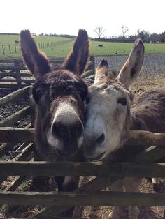 The Scottish Borders Donkey Sanctuary. Cute Donkey, Mini Donkey, Farm Animals, Animals And Pets, Miniature Donkey, The Barnyard, Animal Activist, Super Cute Animals, Gentle Giant