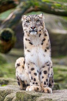 Jaguar Animals Pictures | Arizona Jaguar Put To Sleep   Animal Fact Guide |  Cats | Pinterest | Jaguar Animal, Animal Facts And Animal