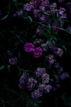 "greenreblooming: ""almost gone. Flower Aesthetic, Purple Aesthetic, Flower Phone Wallpaper, Wallpaper Backgrounds, Dark Flowers, Beautiful Flowers, Witchy Wallpaper, Gothic Garden, Midnight Garden"