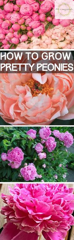 How to Grow Pretty Peonies - Bless My Weeds