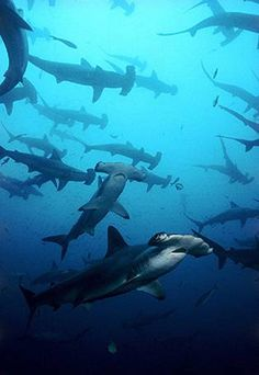 Hammerhead Shark school - I would love to be scuba diving and see this....as long as they are not hungry!